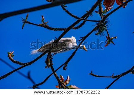 Egret is a bird of the order Pelecaniformes and can be found throughout Brazil. Royalty-Free Stock Photo #1987352252