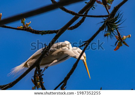 Egret is a bird of the order Pelecaniformes and can be found throughout Brazil. Royalty-Free Stock Photo #1987352255