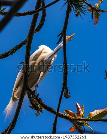 Egret is a bird of the order Pelecaniformes and can be found throughout Brazil. Royalty-Free Stock Photo #1987352261