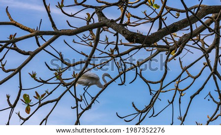 Egret is a bird of the order Pelecaniformes and can be found throughout Brazil. Royalty-Free Stock Photo #1987352276