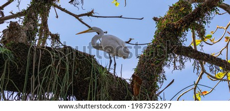 Egret is a bird of the order Pelecaniformes and can be found throughout Brazil. Royalty-Free Stock Photo #1987352297