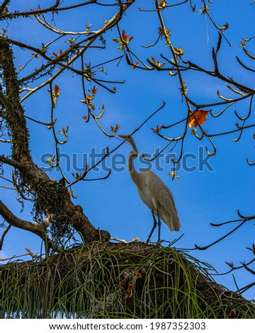 Egret is a bird of the order Pelecaniformes and can be found throughout Brazil. Royalty-Free Stock Photo #1987352303