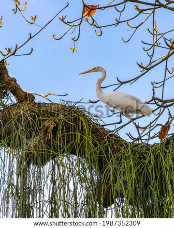 Egret is a bird of the order Pelecaniformes and can be found throughout Brazil. Royalty-Free Stock Photo #1987352309