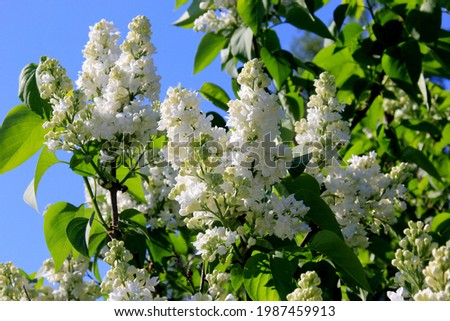 Blooming white lilac flowers on the tree (Syringa vulgaris). Blossoming common Syringa vulgaris white  lilacs Royalty-Free Stock Photo #1987459913