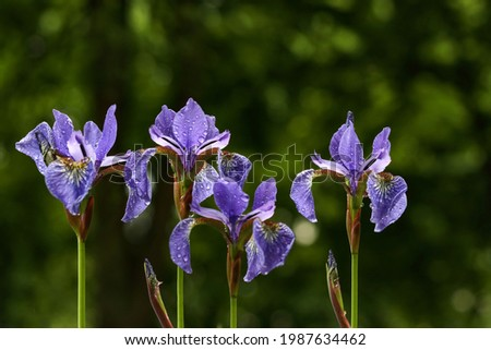Lot of irises. Violet iris flowers are growing in garden. Iridaceae. A plant with impressive flowers, garden decoration.Flowers of Siberian iris wetted by rain.Background from violet flowers.