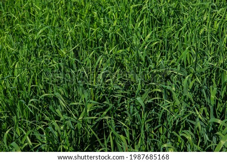 Green  grass.  Tall stalks of grass for background.
