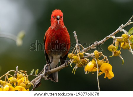 The Apapane is an endemic bird in the Hawaiian Islands.  It feeds on native flowers and blossoms in trees.  It is found at elevations on the islands, a striking deep red color. It is endangered. Royalty-Free Stock Photo #1987760678