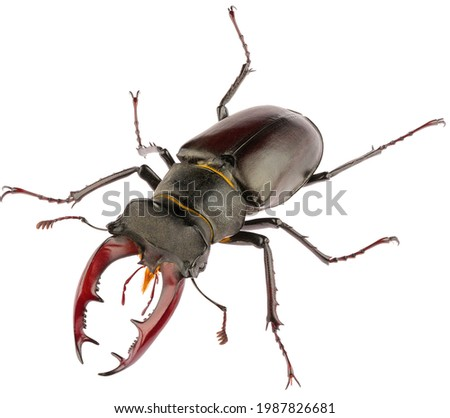 The European stag beetle Lucanus cervus male is species of stag beetle from family Lucanidae. Front view of male stag beetle Lucanus cervus isolated on white background. Royalty-Free Stock Photo #1987826681