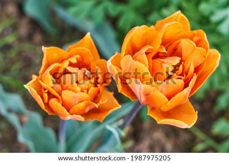 Flower garden, a bunch of oranges tulips sitting on top of a flower Royalty-Free Stock Photo #1987975205