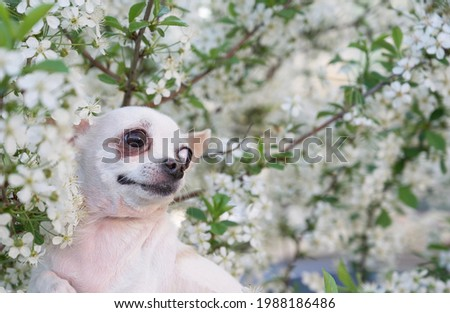 A small white chihuahua dog among the branches of a blossoming white apple tree in the garden while walking. The dog poses romantically against the backdrop of a blooming garden.