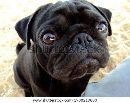 black pug dog pedigree pet Royalty-Free Stock Photo #1988219888