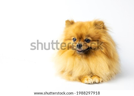 Brown bitch Pomeranian portrait. Funny studio portrait of the puppy dog sitting and smiling isolated on white background, looking at the camera copy space. Small hairy doggy lay on table