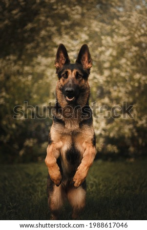 East European Shepherd German Shepherd on the background of a blossoming tree trick paws up spring