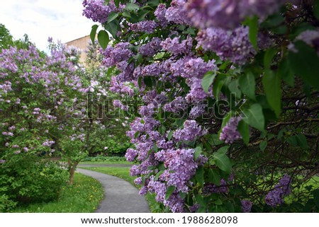 Blooming lilac trees. Taken at lilacs garden in Moscow. Royalty-Free Stock Photo #1988628098