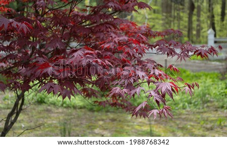 Solitary red maple tree in the front yard at upstate New York country house. Solitary amber maple leaf washed up on the banks of river. Red maple leaf with a textured stone background. Royalty-Free Stock Photo #1988768342