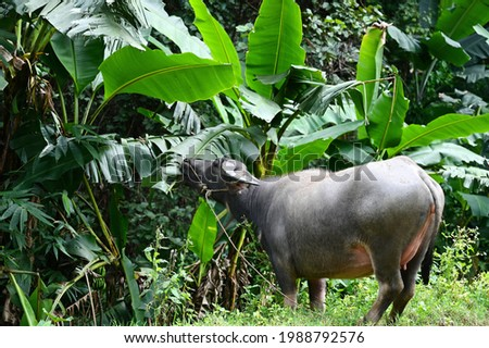 Vigorous gray Asian buffalo (wild buffalo) graciously eats young leaves of banana trees on the edge of the forest.Buffalo is a herbivorous ruminant. Likes to soak in muddy water Farmers like to raise. Royalty-Free Stock Photo #1988792576