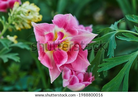 Delicate pink tulips in the garden on a natural green background. Selective soft focus.  Royalty-Free Stock Photo #1988800016