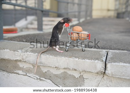 A wild red rat rolls a cart with walnuts from the supermarket. I go to the supermarket to buy