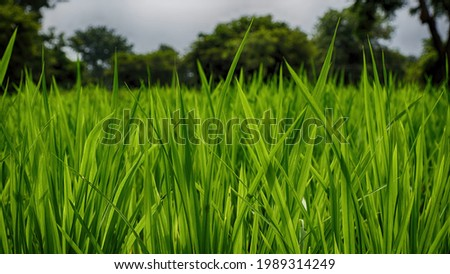 Protein rich green fodder crop grown for cows near Mysore. Highly succulent and nutritionally rich fodder. Selective focus. Royalty-Free Stock Photo #1989314249