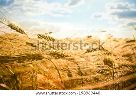 golden wheat field and blue sky #198969440