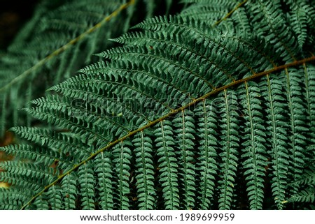 Beautiful fern leaves green foliage natural floral fern background. Kale color of the picture.