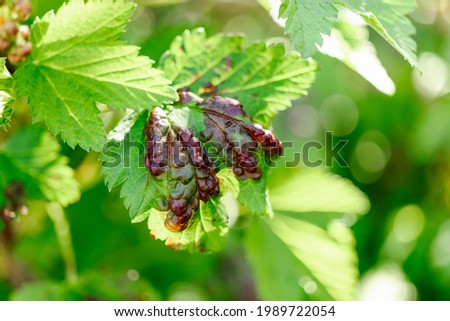 Leaf of a red currant of the amazed sheet plant louses. Disease of garden plants. Garden