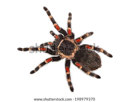 Tarantula spider, Brachypelma Boehmei, on white background