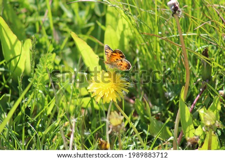 A macro style picture of a Pearl Crescent butterfly feeding on a dandelion flower.