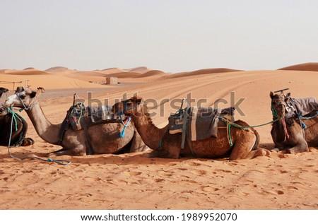 Camel rides at Erg Chebbi, Morocco Royalty-Free Stock Photo #1989952070