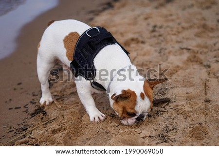 French Bulldog dog walking on the beach having great time sniffing on sand  Royalty-Free Stock Photo #1990069058