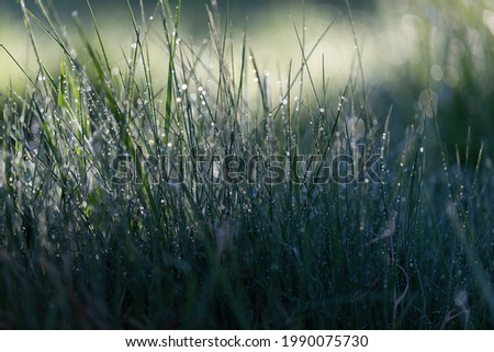 Fresh green grass on dew drops, wet grass. Transparent droplets of dew in grass on summer morning sparkle in sunlight in nature. Fresh morning dew on spring grass, natural background.  Royalty-Free Stock Photo #1990075730
