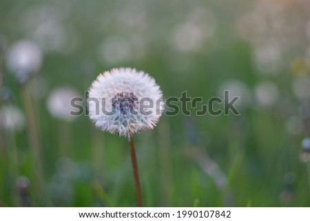 Yellow dandelion flowers (Taraxacum officinale). Dandelions field background on spring sunny day. Blooming dandelion. plant Taraxacum officinale at the time of mass flowering.