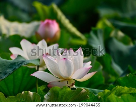 Lotus with green leaf #199044455