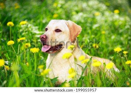 yellow labrador retriever dog #199055957