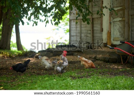 Rooster and chicken feed on the farm