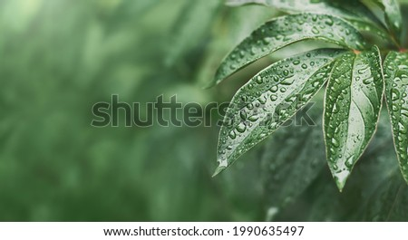 peony leaves with raindrops in summer Royalty-Free Stock Photo #1990635497