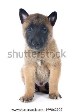puppy  belgian sheepdog malinois on a white background #199063907