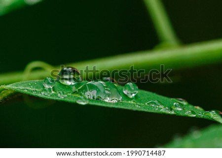Raindrop of water sparkle in morning ,Large beautiful drops of transparent  on a green leaf macro ,Natural background with free space. Royalty-Free Stock Photo #1990714487