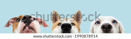 Banner Close-up three hide dogs head. Isolated on blue background. Royalty-Free Stock Photo #1990878914