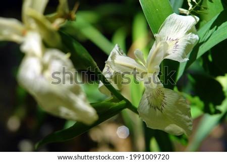 Close up of the blooming white flower of the yellow iris pseudacorus (yellow iris, yellow flag, water flag, lever). Poland, Europe