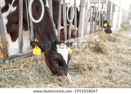 Young clean brown-colored cow with white spots, with a yellow tag on ear calmly eats hay in a metal corral next to other cows on the bio farm at daytime. Agriculture industry and bio products concept