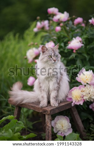 Photo of a gray fluffy cat near a bush of pink peonies. Royalty-Free Stock Photo #1991143328