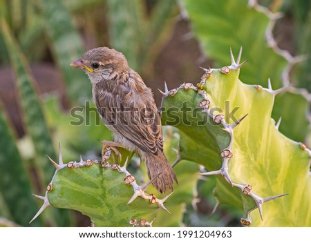 Juvenile house sparrow passer domesticus stood perched on leaf frond of cactus plant in wild garden Royalty-Free Stock Photo #1991204963