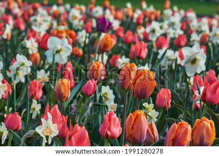 White narcissus stand out in a field of red yellow tulips Royalty-Free Stock Photo #1991280278