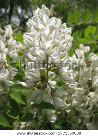 macro photo with a background of a bunch of white flowers on the branches of a decorative tree for garden landscape design as a source for prints, posters, decor, interiors, advertising, wallpaper