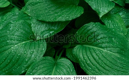 Green branch with raindrops on the leaves, tropical weather. Royalty-Free Stock Photo #1991462396