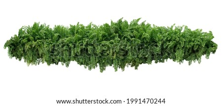 Tropical foliage plant bush, cascading hanging Fishtail fern or forked giant sword fern (Nephrolepis spp.) the shade garden landscaping shrub plant isolated on white with clipping path. Royalty-Free Stock Photo #1991470244