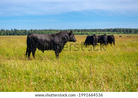A black angus bull stands on a green grassy field. Agriculture, cattle breeding. Royalty-Free Stock Photo #1991664536