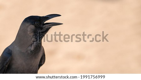 Black bird jackdaw or raven with open beak Black bird in the nature habitat. black bird with an open beak on a blurred neutral beige background. copy space. banner Royalty-Free Stock Photo #1991756999
