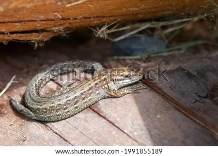 The viviparous lizard, or common lizard, (Zootoca vivipara, formerly Lacerta vivipara), is a Eurasian lizard. Royalty-Free Stock Photo #1991855189